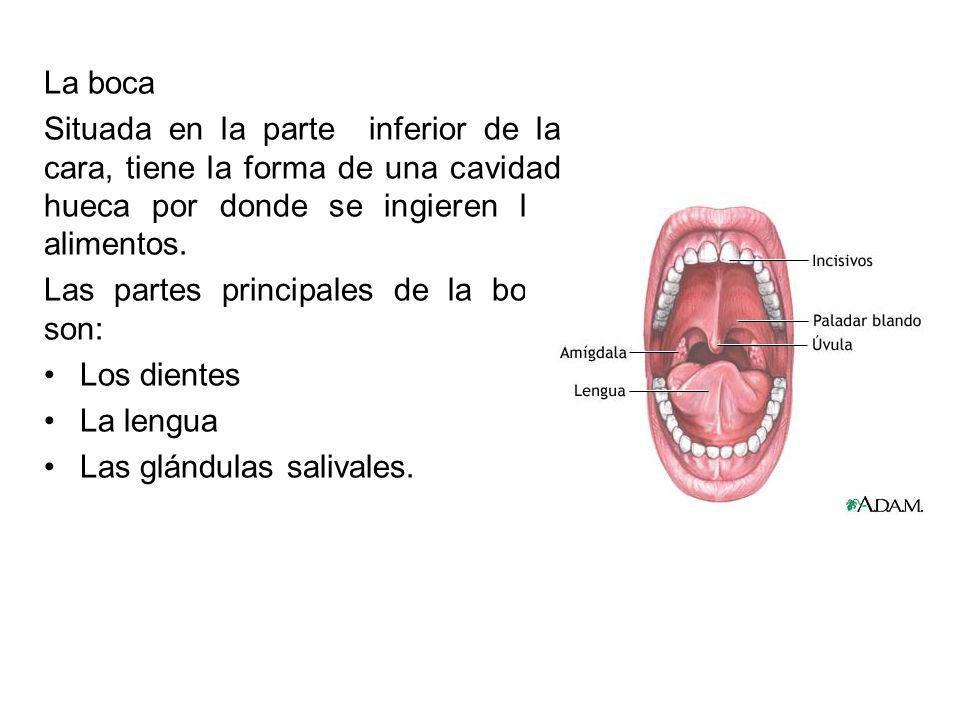 La boca Situada en la parte inferior de la cara, tiene la forma de una cavidad hueca por donde se ingieren los alimentos.