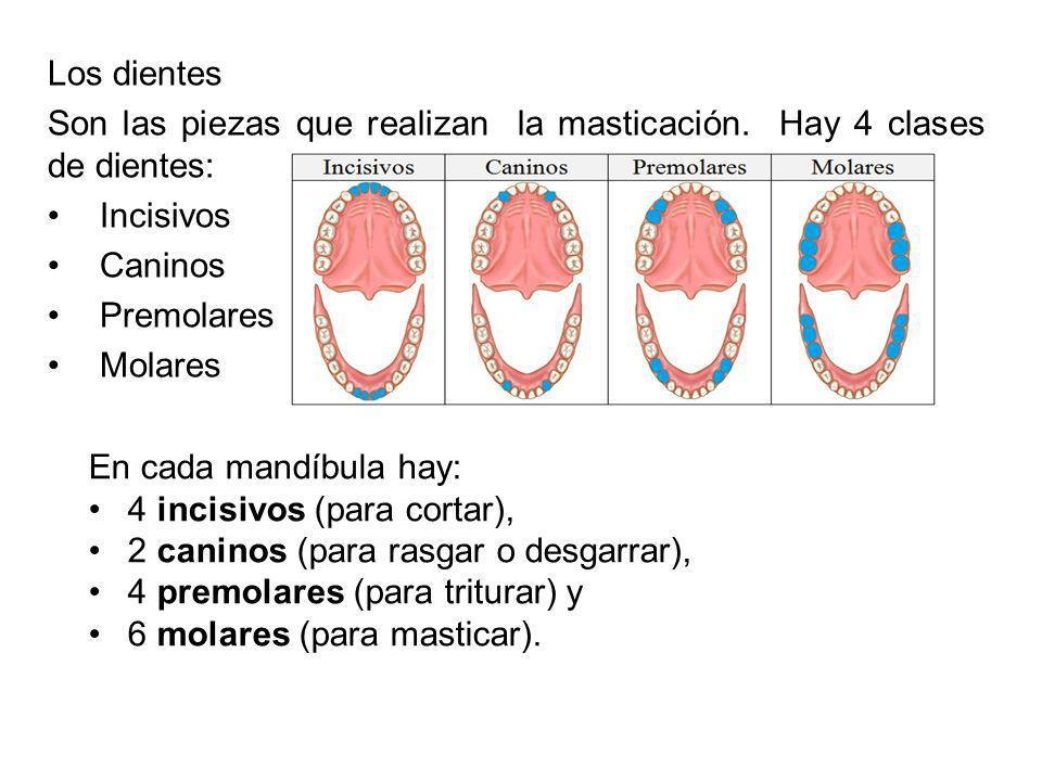 Los dientes Son las piezas que realizan la masticación. Hay 4 clases de dientes: Incisivos. Caninos.