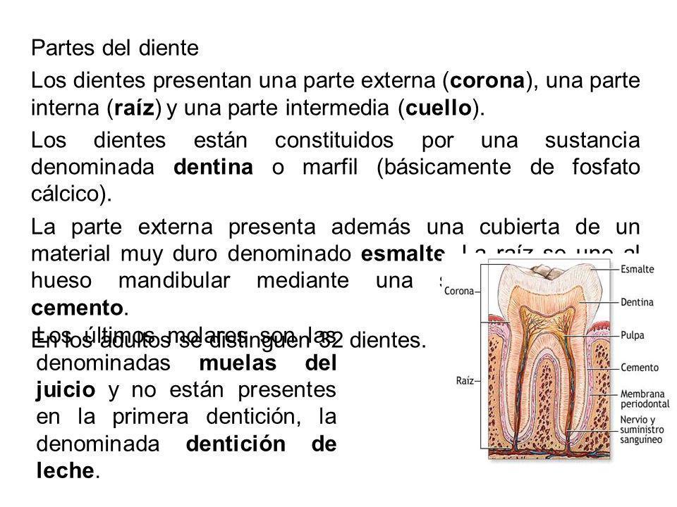 Partes del diente Los dientes presentan una parte externa (corona), una parte interna (raíz) y una parte intermedia (cuello).