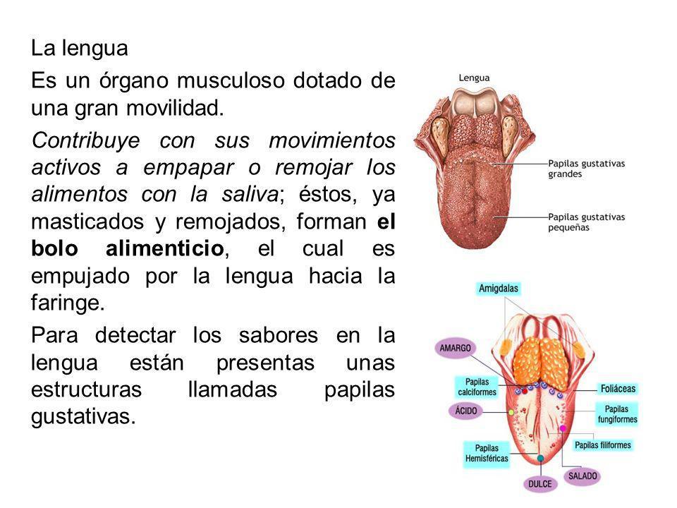 La lengua Es un órgano musculoso dotado de una gran movilidad.