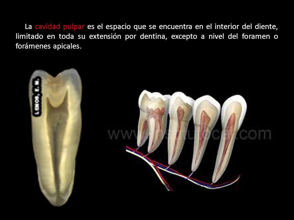La cavidad pulpar es el espacio que se encuentra en el interior del diente, limitado en toda su extensión por dentina, excepto a nivel del foramen o forámenes apicales.