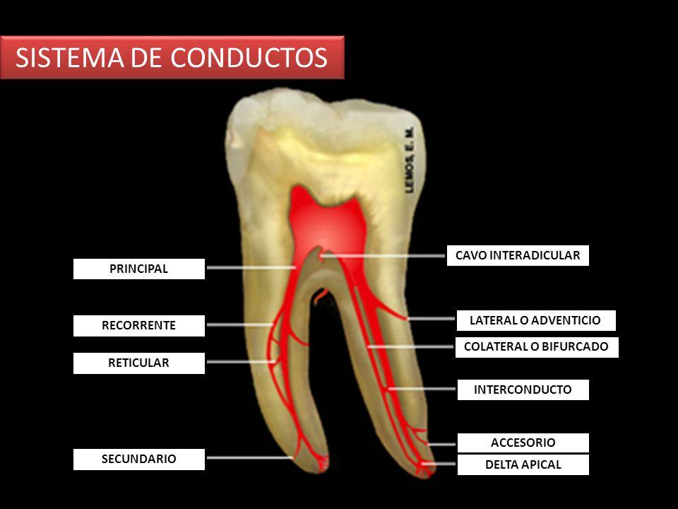 SISTEMA DE CONDUCTOS CAVO INTERADICULAR PRINCIPAL LATERAL O ADVENTICIO