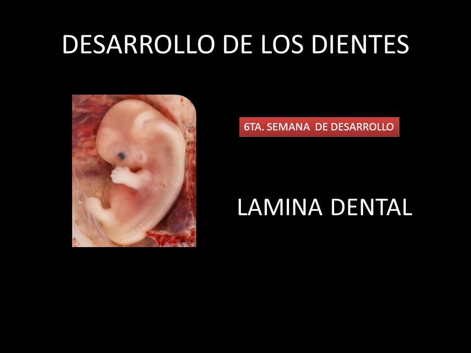 DESARROLLO DE LOS DIENTES