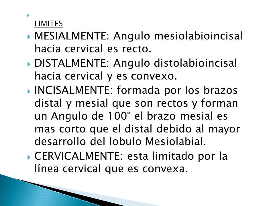 MESIALMENTE: Angulo mesiolabioincisal hacia cervical es recto.