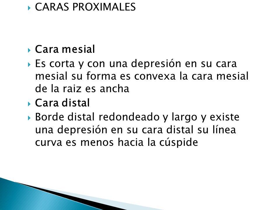 CARAS PROXIMALES Cara mesial. Es corta y con una depresión en su cara mesial su forma es convexa la cara mesial de la raiz es ancha.