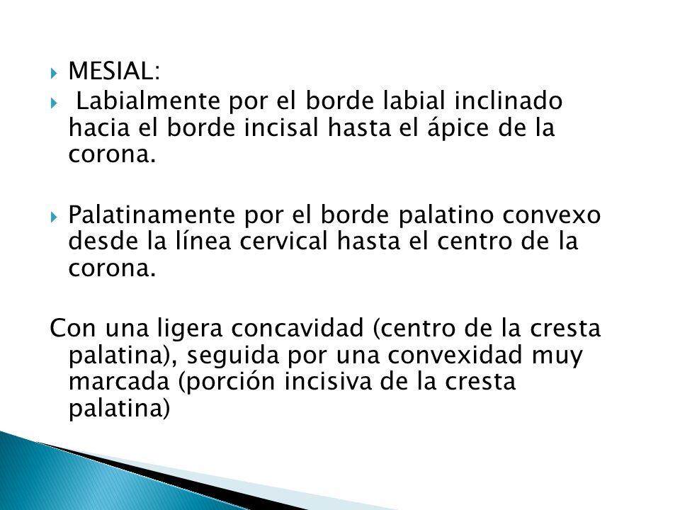 MESIAL: Labialmente por el borde labial inclinado hacia el borde incisal hasta el ápice de la corona.