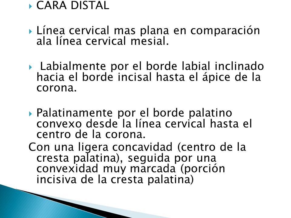 CARA DISTAL Línea cervical mas plana en comparación ala línea cervical mesial.