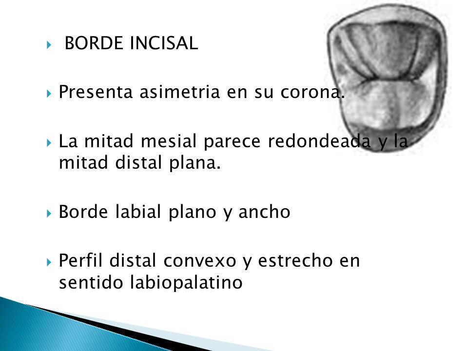 BORDE INCISAL Presenta asimetria en su corona. La mitad mesial parece redondeada y la mitad distal plana.