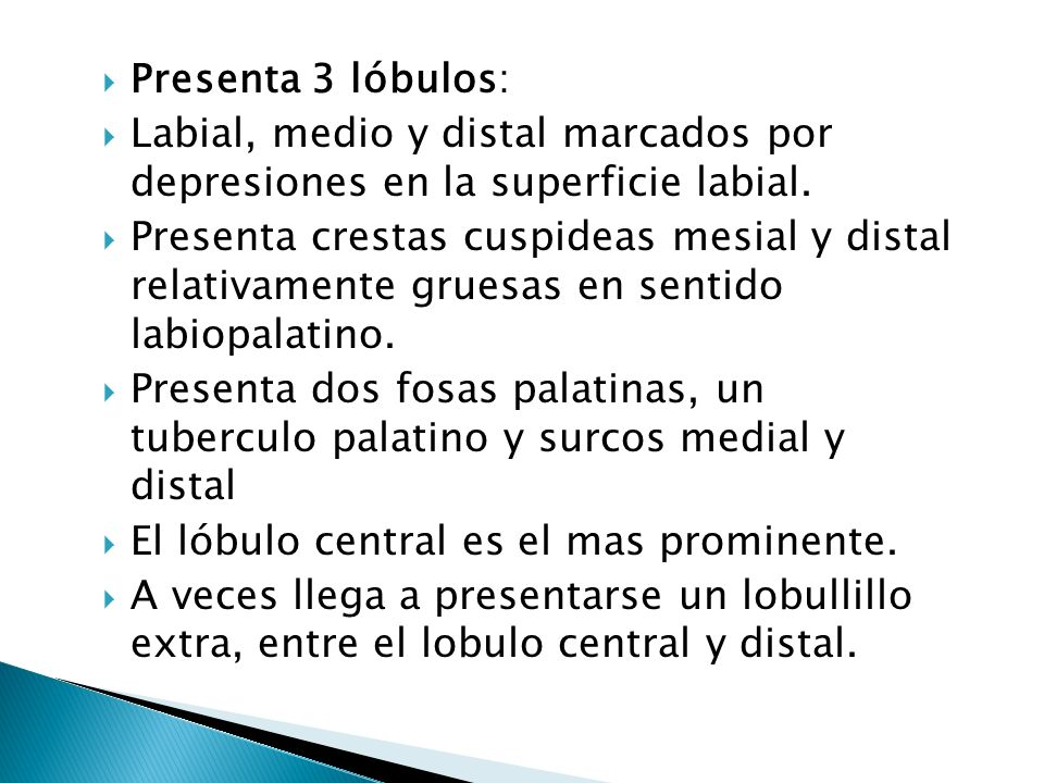 Presenta 3 lóbulos: Labial, medio y distal marcados por depresiones en la superficie labial.