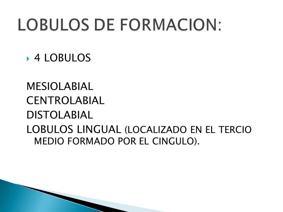 LOBULOS DE FORMACION: 4 LOBULOS MESIOLABIAL CENTROLABIAL DISTOLABIAL