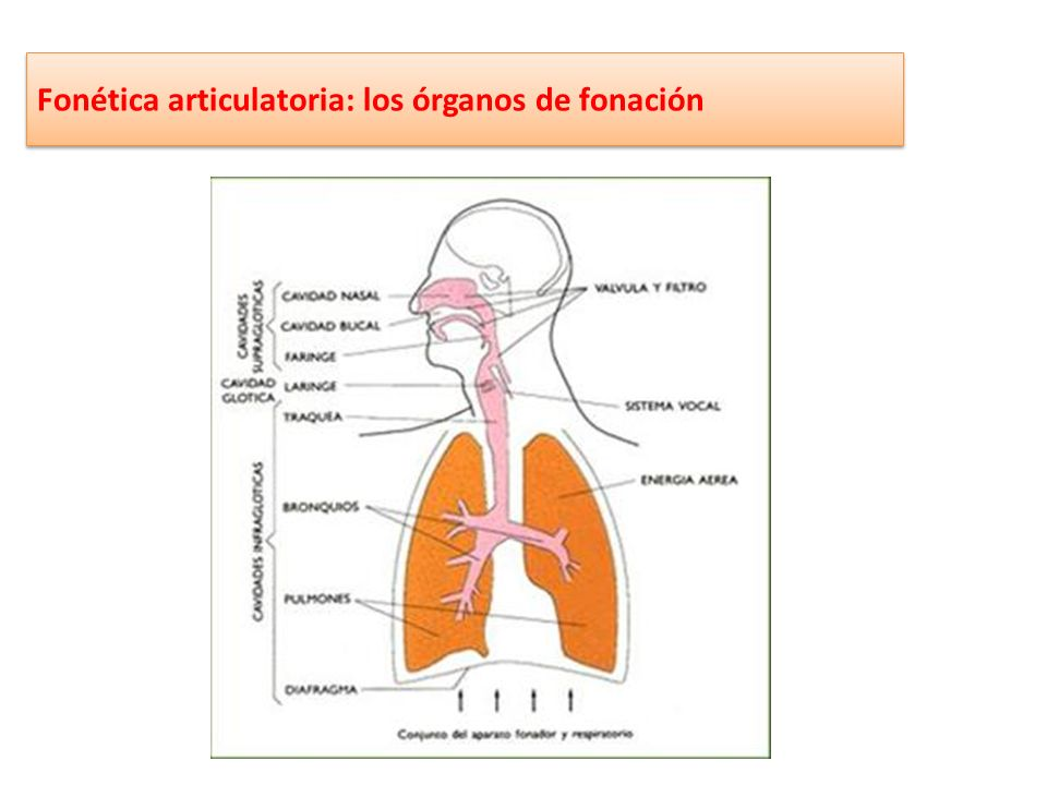 Fonética articulatoria: los órganos de fonación