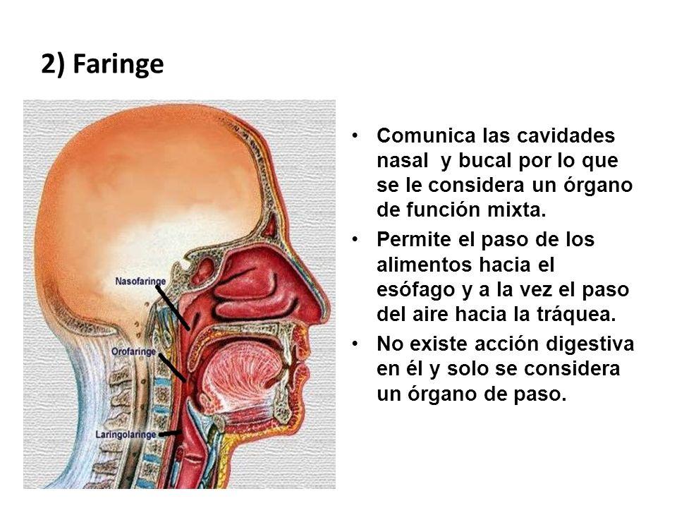 2) Faringe Comunica las cavidades nasal y bucal por lo que se le considera un órgano de función mixta.