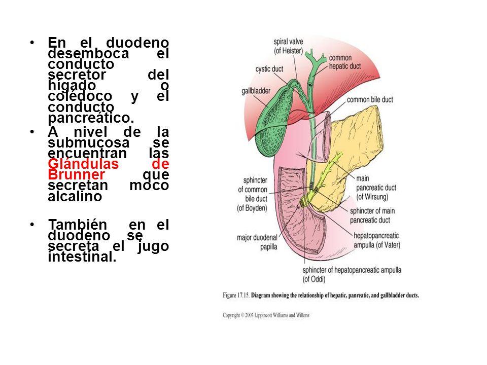 En el duodeno desemboca el conducto secretor del hígado o colédoco y el conducto pancreático.