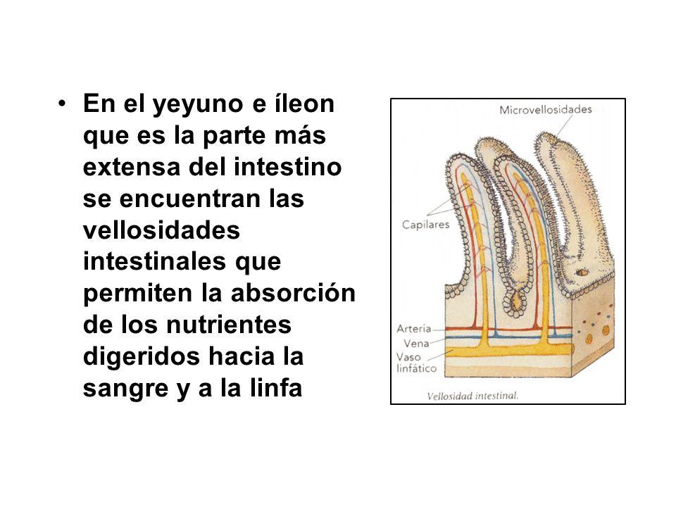 En el yeyuno e íleon que es la parte más extensa del intestino se encuentran las vellosidades intestinales que permiten la absorción de los nutrientes digeridos hacia la sangre y a la linfa