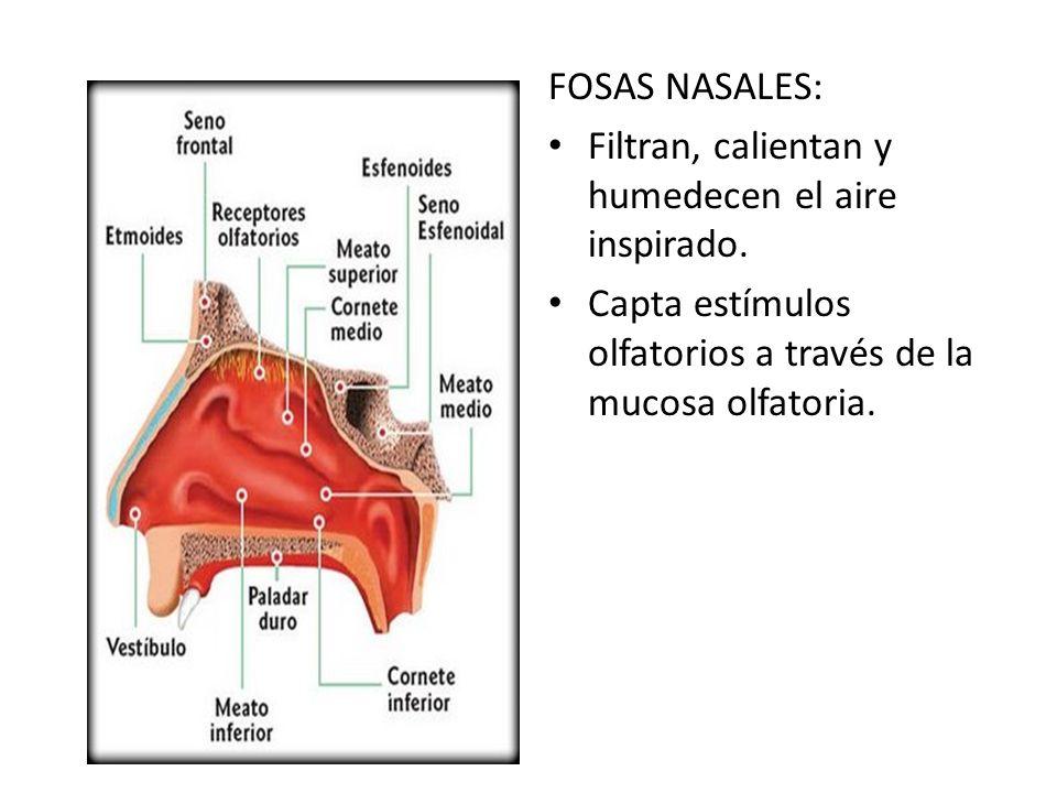 FOSAS NASALES: Filtran, calientan y humedecen el aire inspirado.