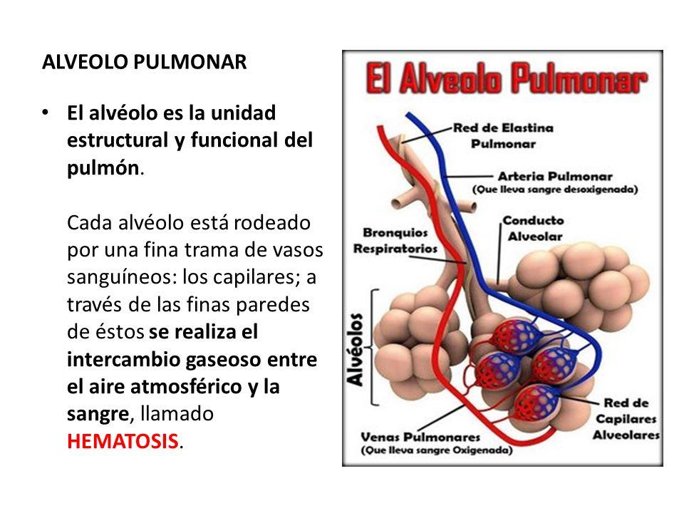 ALVEOLO PULMONAR