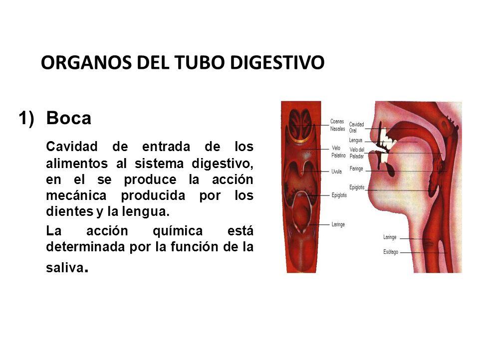 ORGANOS DEL TUBO DIGESTIVO