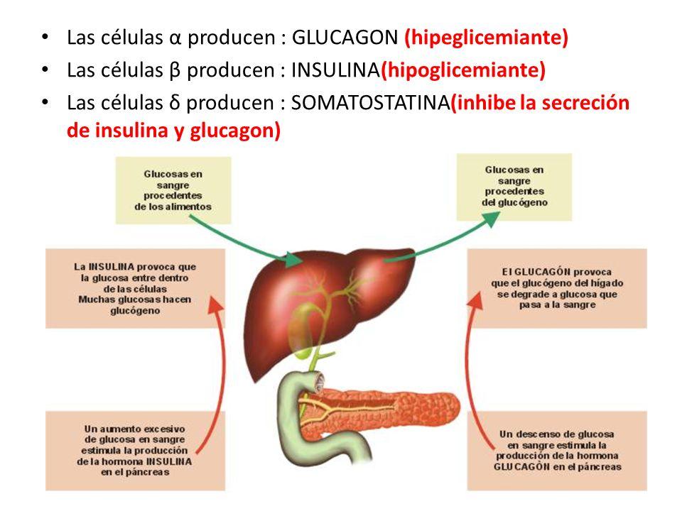 Las células α producen : GLUCAGON (hipeglicemiante)