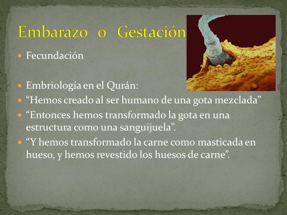 Embarazo o Gestación Fecundación Embriología en el Qurán: