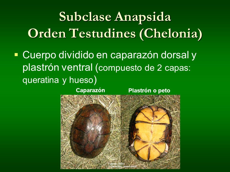 Subclase Anapsida Orden Testudines (Chelonia)