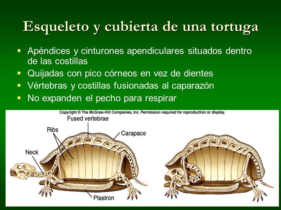 Esqueleto y cubierta de una tortuga
