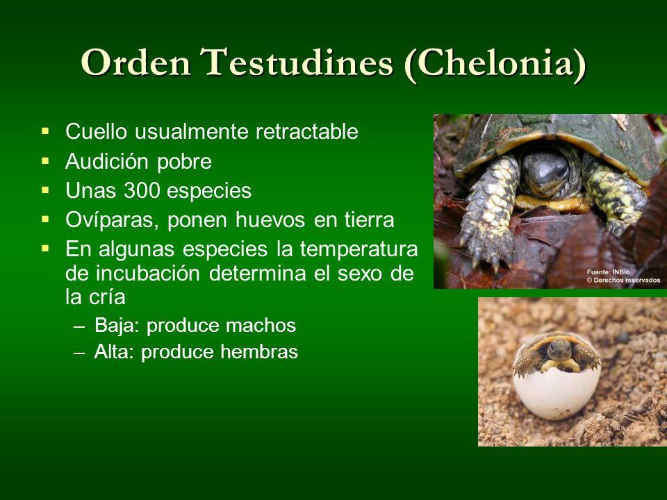 Orden Testudines (Chelonia)