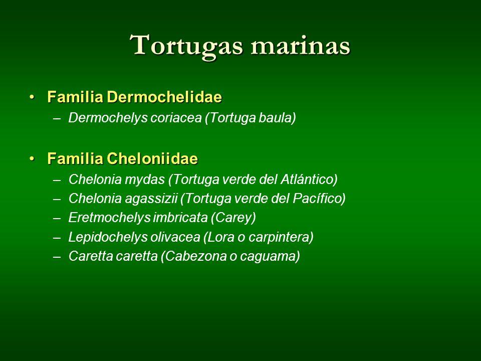 Tortugas marinas Familia Dermochelidae Familia Cheloniidae