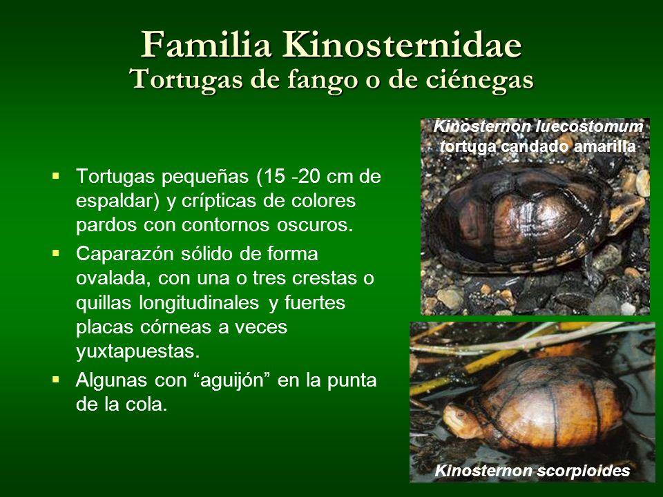 Familia Kinosternidae Tortugas de fango o de ciénegas
