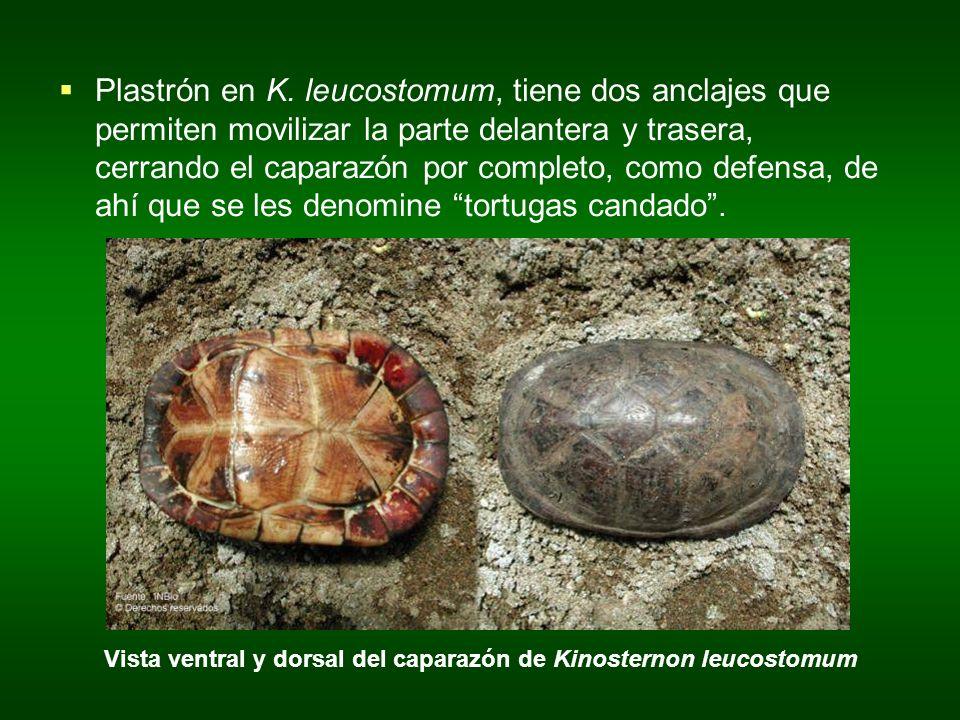Vista ventral y dorsal del caparazón de Kinosternon leucostomum