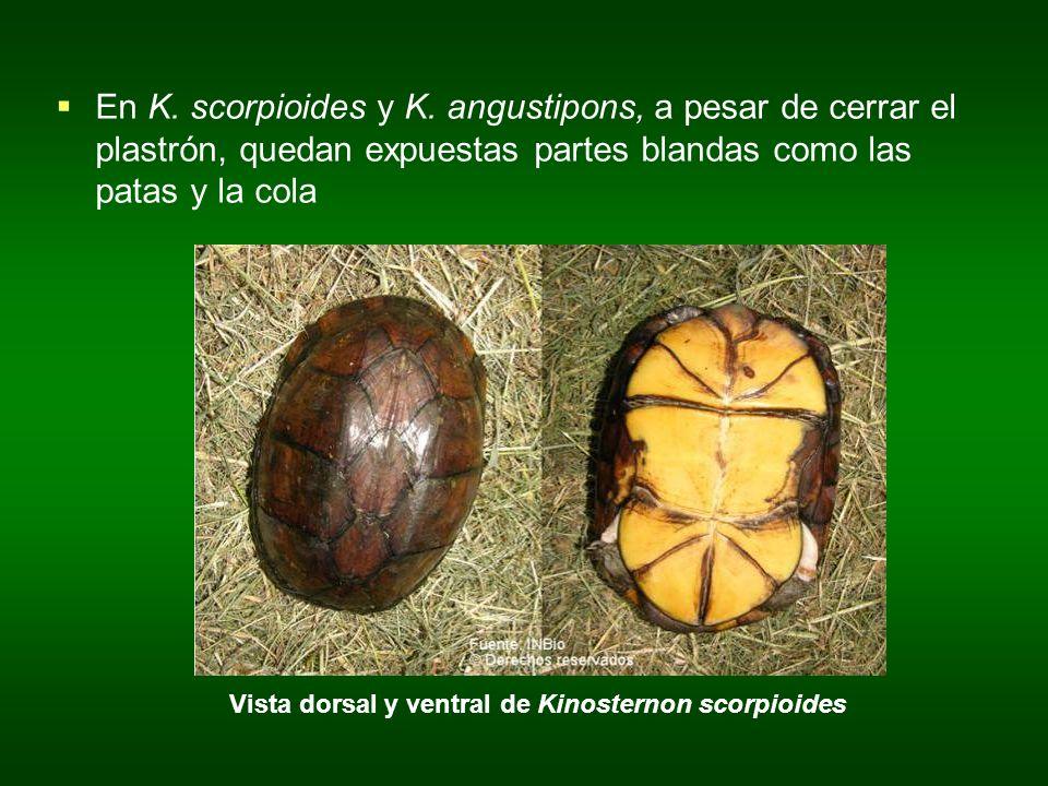Vista dorsal y ventral de Kinosternon scorpioides