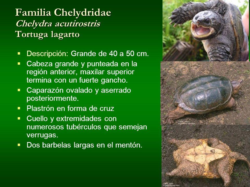 Familia Chelydridae Chelydra acutirostris Tortuga lagarto