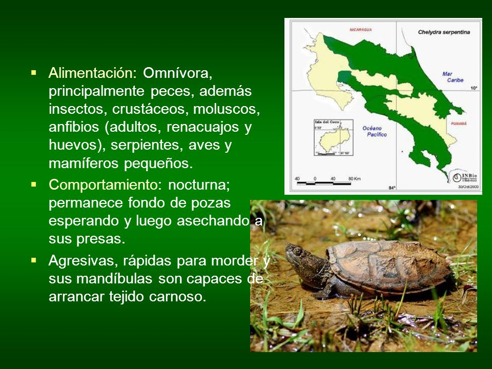 Alimentación: Omnívora, principalmente peces, además insectos, crustáceos, moluscos, anfibios (adultos, renacuajos y huevos), serpientes, aves y mamíferos pequeños.