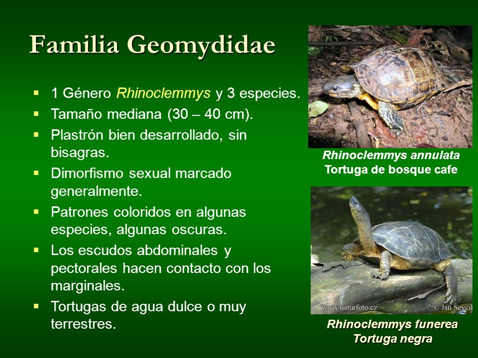 Rhinoclemmys annulata Tortuga de bosque cafe