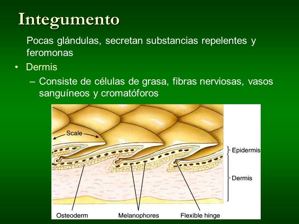 Integumento Pocas glándulas, secretan substancias repelentes y feromonas. Dermis.