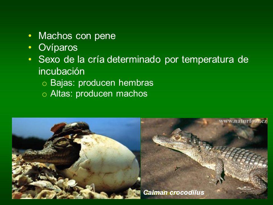 Sexo de la cría determinado por temperatura de incubación
