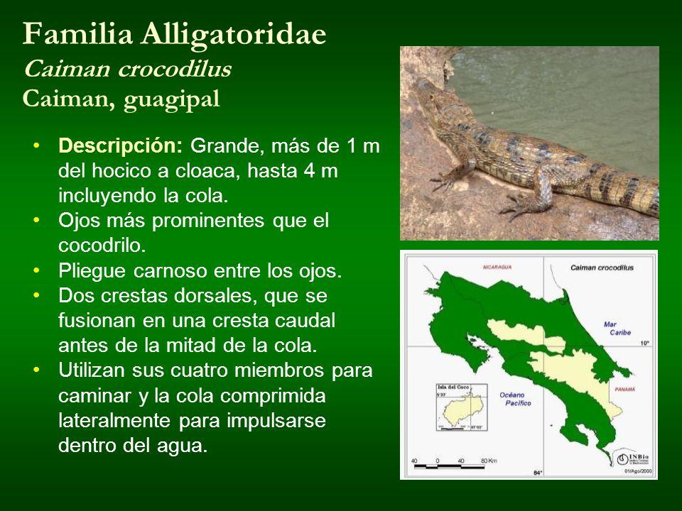 Familia Alligatoridae Caiman crocodilus Caiman, guagipal