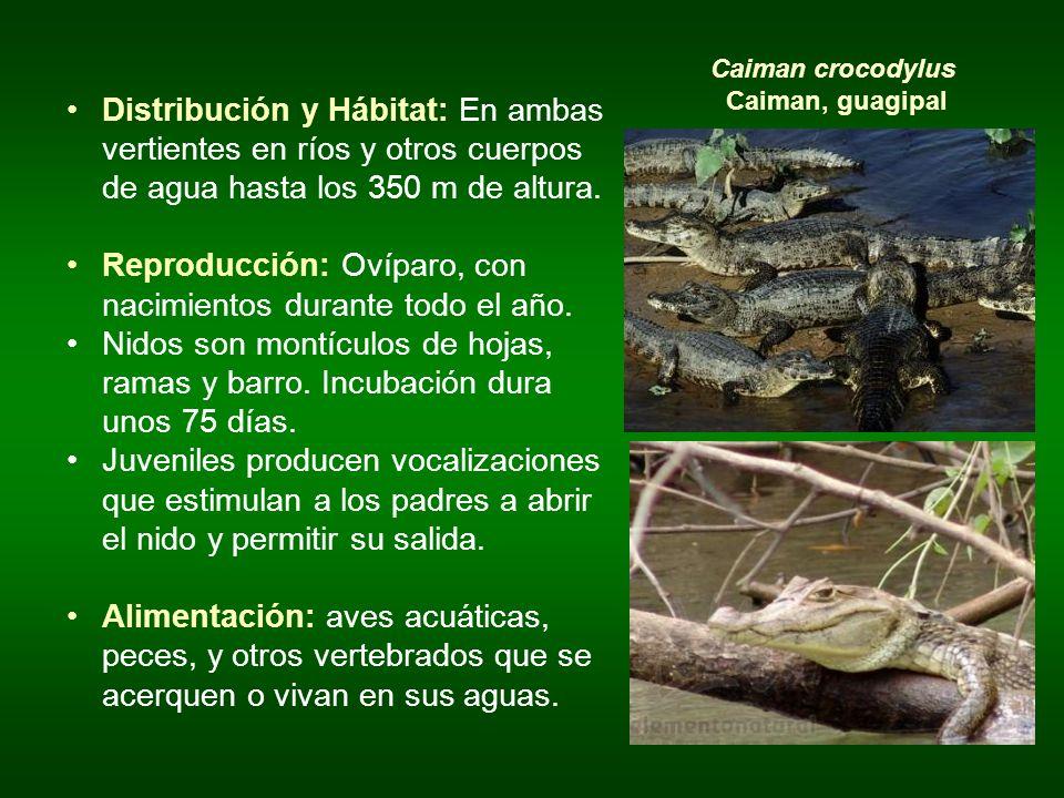 Caiman crocodylus Caiman, guagipal