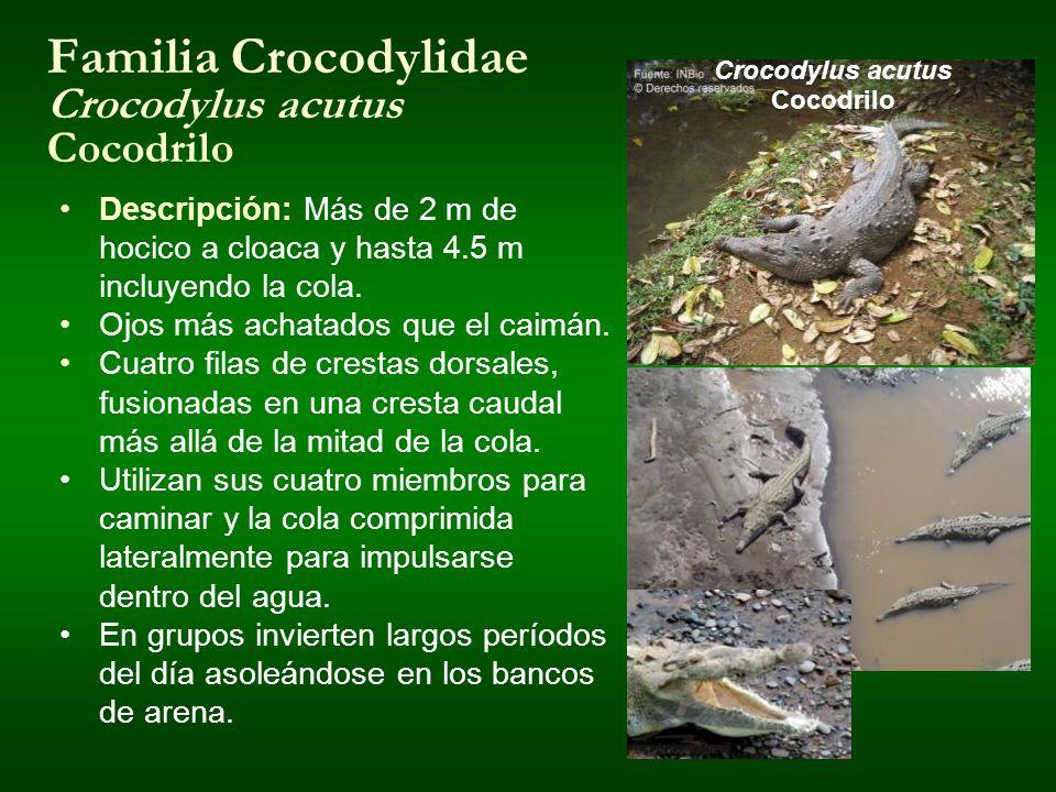 Familia Crocodylidae Crocodylus acutus Cocodrilo