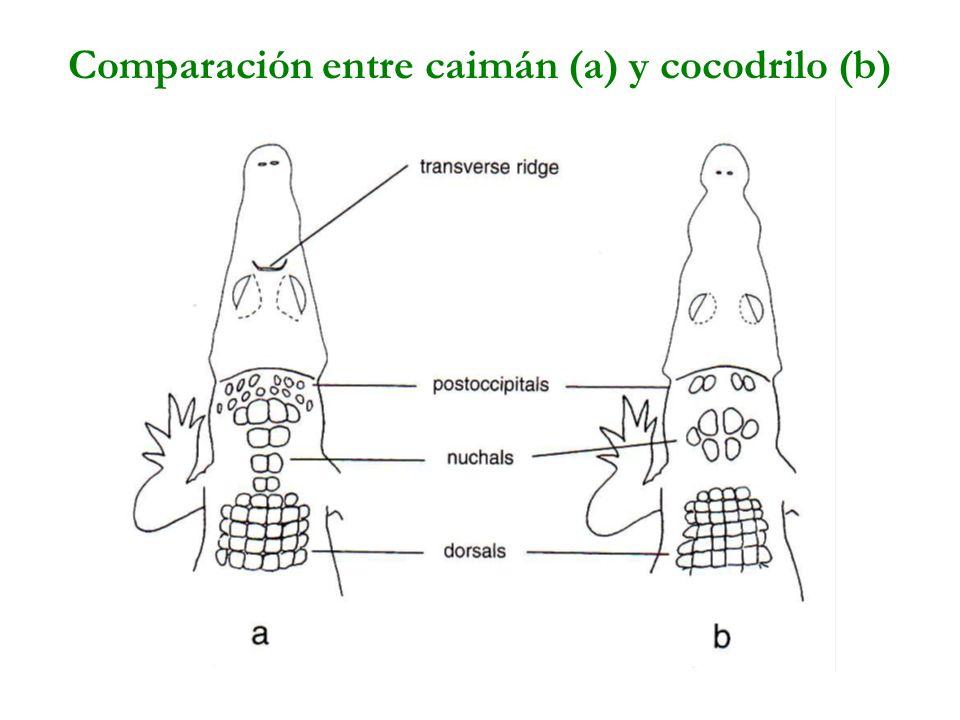 Comparación entre caimán (a) y cocodrilo (b)