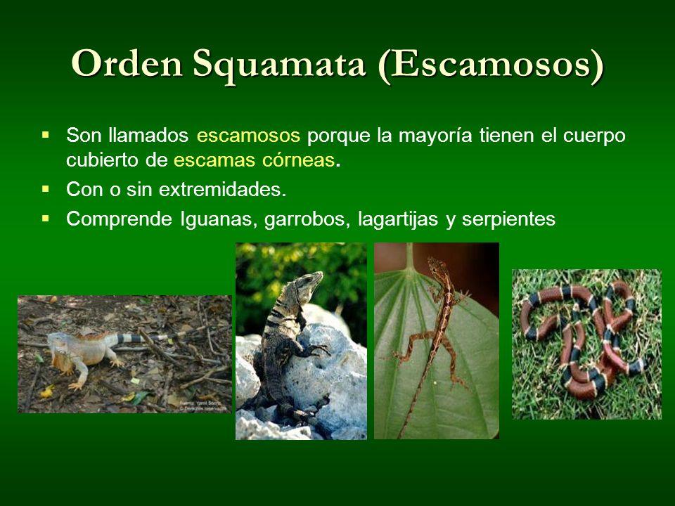 Orden Squamata (Escamosos)
