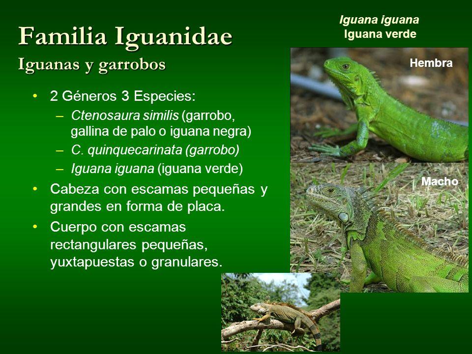 Familia Iguanidae Iguanas y garrobos