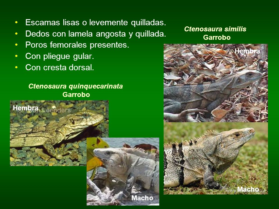 Ctenosaura similis Garrobo Ctenosaura quinquecarinata Garrobo