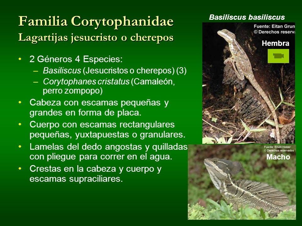 Familia Corytophanidae Lagartijas jesucristo o cherepos