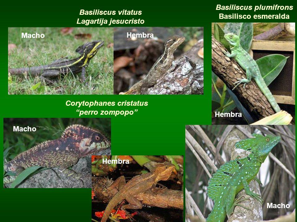Basiliscus plumifrons Basilisco esmeralda Basiliscus vitatus
