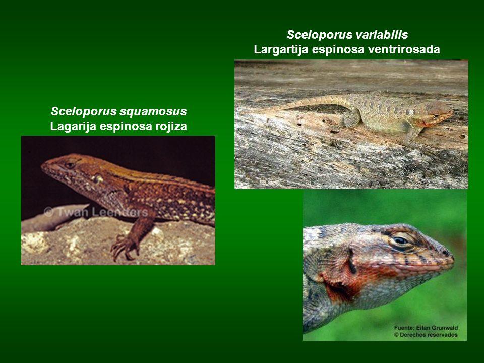 Sceloporus variabilis Largartija espinosa ventrirosada