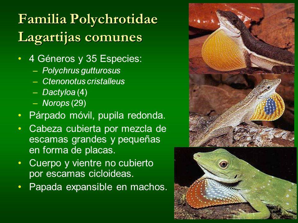 Familia Polychrotidae Lagartijas comunes