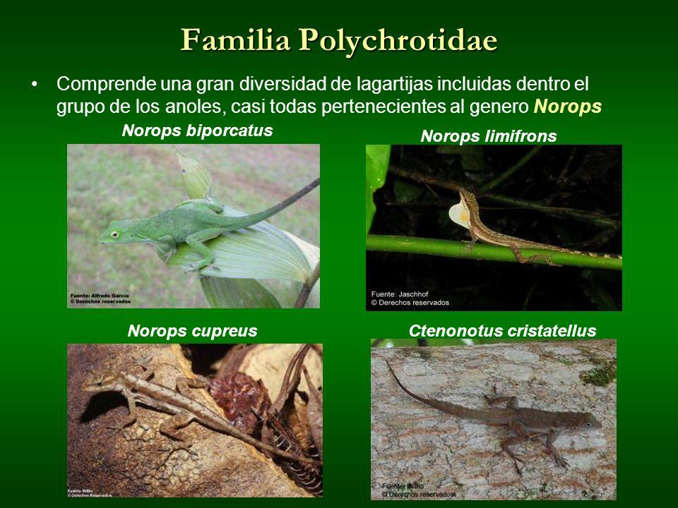 Familia Polychrotidae