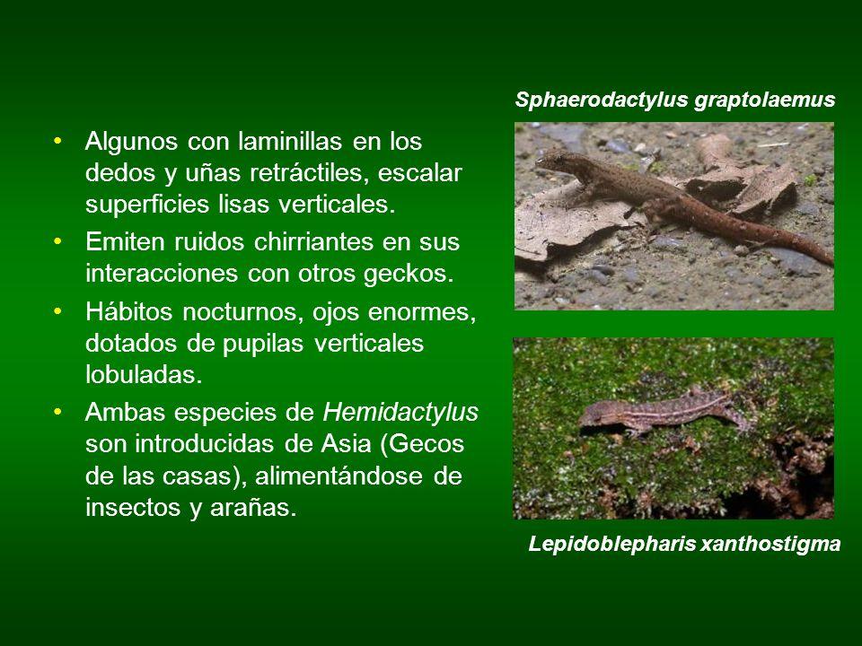 Sphaerodactylus graptolaemus