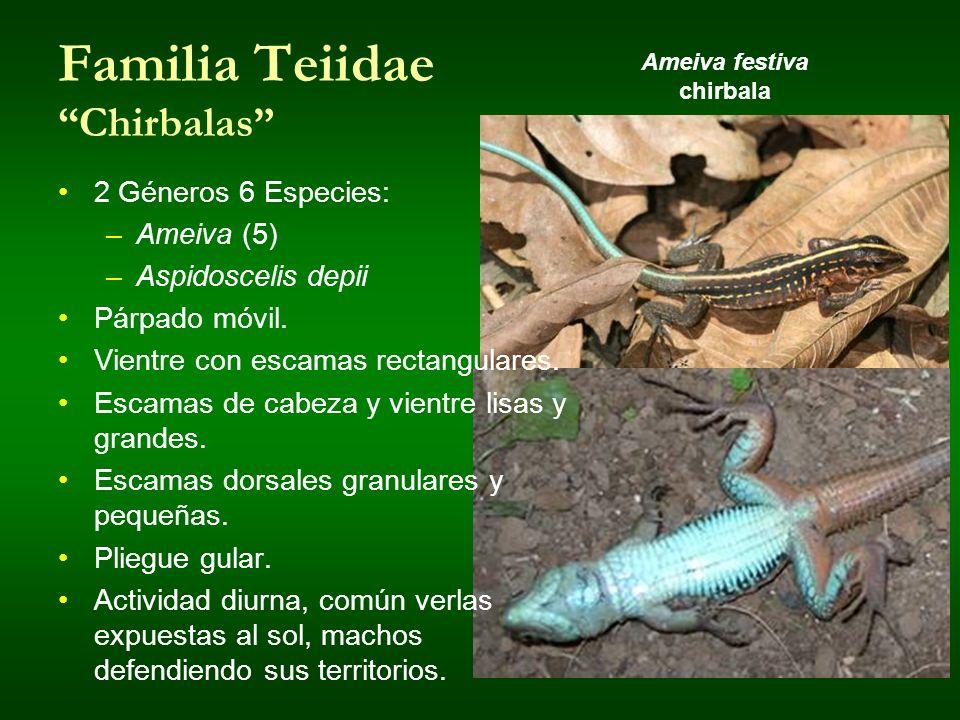 Familia Teiidae Chirbalas