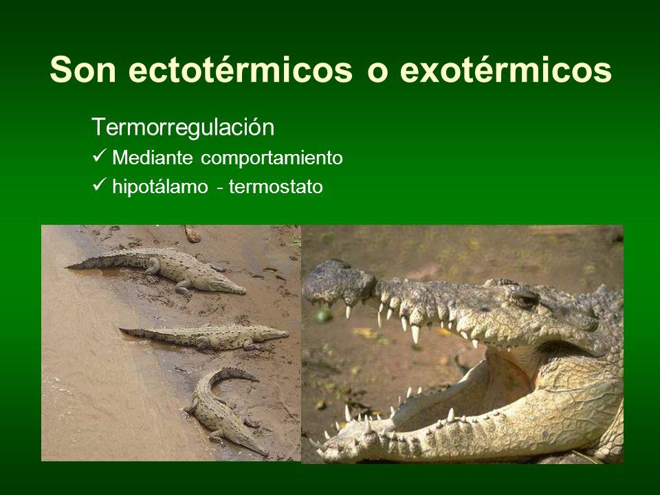 Son ectotérmicos o exotérmicos